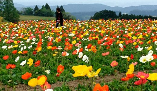 令和GW後半は生駒高原のポピー祭りに行くのがオススメ